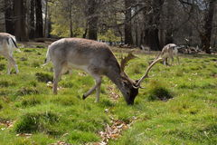 Deer w Richmond parku fotografia royalty free