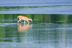 Deer Wading Out into the Water Royalty Free Stock Photos