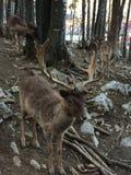 Deer waiting for food Royalty Free Stock Image