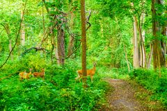 Deer walk in the fores. The good nature in the forest have deer walk around Stock Image