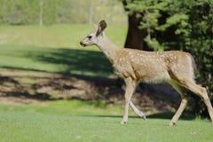 Deer walking. In the woods Royalty Free Stock Photo