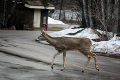 Deer Walking Across Road. At Glacier National Park Montana Royalty Free Stock Images