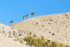 Deer walking Along the Sand Dunes. Doe and fawns walking along the egde of a sand dunes. McAllister park, Port Jefferson, Long Island, New York Stock Photo