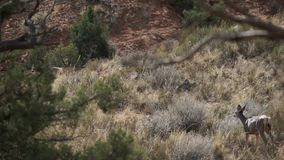 Deer Walking in Arches National Park stock footage