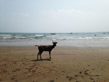Deer walking on the beach. Indonesia Stock Image