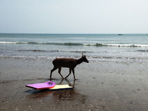 Deer walking on the beach. Indonesia Royalty Free Stock Photos