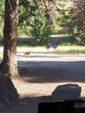 Deer walking through a clearing royalty free stock photography