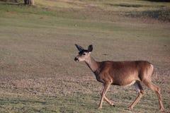 Deer Stock Images