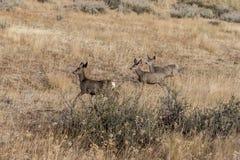 Deer walking in field. Royalty Free Stock Photos