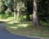 Deer walking through the grass. In Oregon royalty free stock images