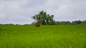 Deer walking on green grass field