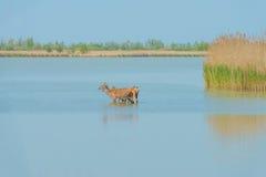 Deer walking in a lake in spring. In sunlight stock images