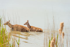 Deer walking in a lake in spring. In sunlight stock photo
