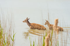 Deer walking in a lake in spring. In sunlight stock photography