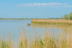 Deer walking in a lake in spring. In sunlight Stock Photos