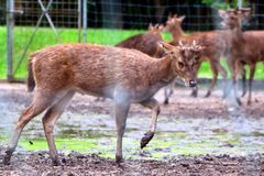 Deer walking in muddy ground Royalty Free Stock Images