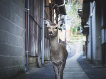 Deer walking in Nara old town Japan Tourism. Cute animal Attraction Stock Images