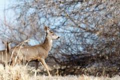Deer walking near the trees. California, Tulelake, Lower Klamath National Wildlife Refuge, Taken 02.2017 Stock Image