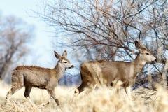 Deer walking near the trees. California, Tulelake, Lower Klamath National Wildlife Refuge, Taken 02.2017 Royalty Free Stock Image