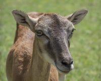 Deer walking in the park Stock Image