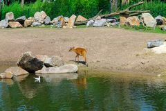 Deer walking in the park at the river. In the middle of the day royalty free stock photography