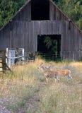 Deer walking past barn. Royalty Free Stock Photography