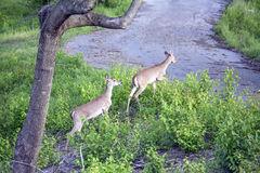Deer walking. Right by me Royalty Free Stock Image