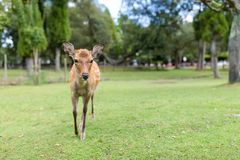 Deer walking to the front. Beautiful scenery landscape at outdoor Royalty Free Stock Photos