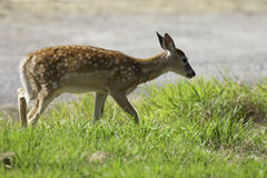 Deer walks in grass. Stock Photography