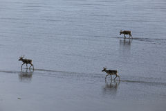 Deer wandering the marine shallows at low tide. Laptev sea. Yakutia. Russia Royalty Free Stock Photos