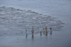 Deer wandering the marine shallows at low tide. Laptev sea. Yakutia. Russia Stock Photography