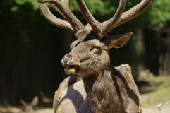 Deer Wapiti Siberian portrait Stock Images
