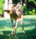 Curious Deer Looking at Camera in Curiosity stock photos