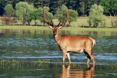 Deer in water. Deer with large antlers in water Royalty Free Stock Images
