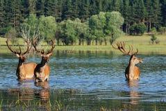 Deer in water Royalty Free Stock Image