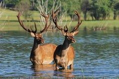 Deer in water Stock Photography