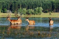 Deer in water Stock Image