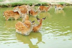Deer in water Stock Images