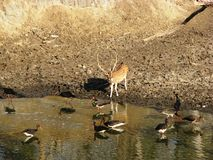 Deer at Water Hole. Photo of a water hole in Pench National park full of black storks and a spotted deer Royalty Free Stock Images