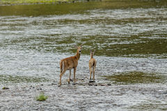 Deer in water looks back at camera. Royalty Free Stock Images