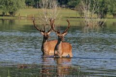 Deer in water Stock Photography