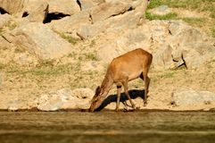 The deer at the watering place Stock Images