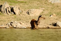 The deer at the watering place Royalty Free Stock Photos