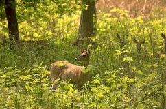 Deer In The Weeds. Whitetail deer in the weeds stock photos