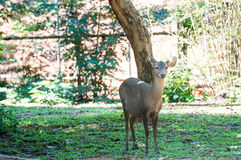 Deer that were fed Royalty Free Stock Image