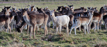 The deer, only a white deer Royalty Free Stock Photography