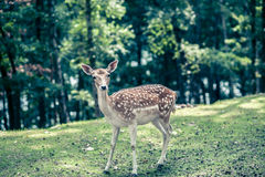 Deer with white spots in green forest Royalty Free Stock Photography