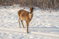 Deer. A white tail deer searching for food in the snow Royalty Free Stock Image