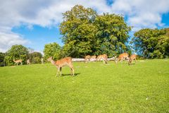 Deer. Whitetail deer on beautiful landscape Royalty Free Stock Photography