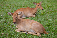 Deer. Whitetail deer fawn sniffing the ground with its doe Royalty Free Stock Images